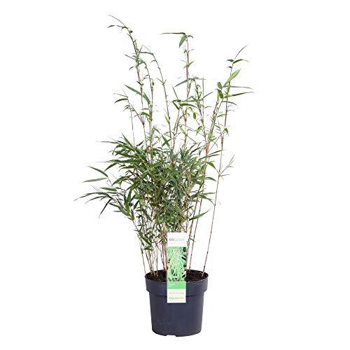 Elegrass - Graminée Bambou- plante de jardin en pot de cultivateurs ø 19 cm - hauteur 50-70 cm - Fargesia rufa