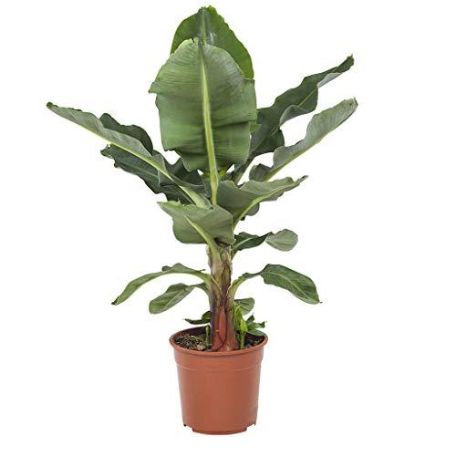 Bananenpflanze   Musa Zimmerpflanze  ...