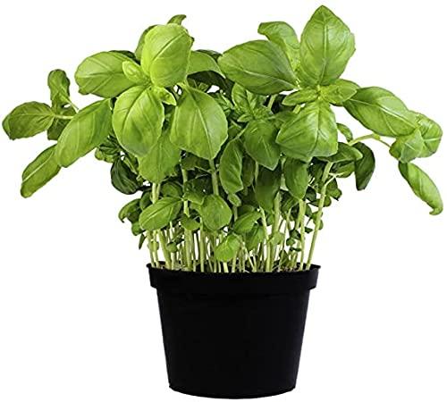 Albahaca Planta Natural Albahaca Fresca Albahaca Italiana Hoja Ancha o Albahaca Salsera para Cocinar Albahaca Pesto
