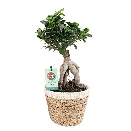 Ficus Microcarpa Gingseng inklusive Korb | Moraceae | Lorbeerfeige | Chinesische Feige | luftreinigende Zimmerpflanze | Höhe 40-47cm | Topfgröße Ø 15cm | Korb Ø 17 x 16cm