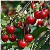 Alick 30 semillas de fruta de cereza.