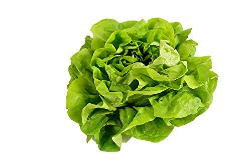 500 Buttercrunch Lettuce Seeds for Planting - Heirloom Non-GMO Vegetable Seeds for Planting - Hydroponics - Microgreens - AKA Butterhead Lettuce, Boston Lettuce, Bibb Lettuce