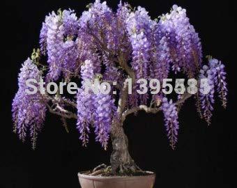 Pinkdose® Blumentöpfe / Sämlinge für Glyzinie, Glyzinie, Glyzinie, Samen, Bonsai, Computertisch