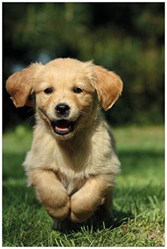 Wallario Poster - Süßer Hund - Golden Retriever in Premiumqualität, Größe: 61 x 91,5 cm (Maxiposter)