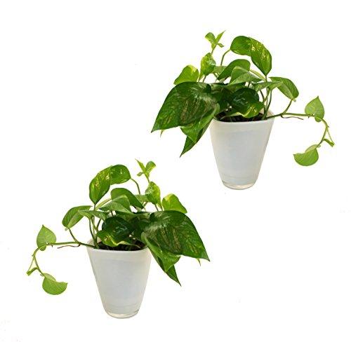 Dominik Blumen und Pflanzen, Efeutute ( Epipremnum), 2 Pflanzen mit Dekotopf, weiß