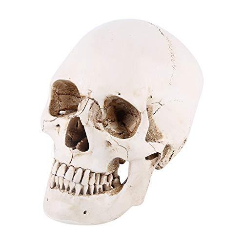 Modelo de cráneo Humano de tamaño Natural, Modelo Educativo de enseñanza, Modelo de Esqueleto anatómico con Gorro de Calavera extraíble, Adorno de Fiesta