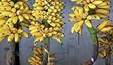 Cavendish gigante árbol de plátano Certified 10 Semillas Semillas plátano planta de banano UPC 562953116882