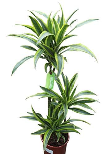 Plante d'intérieur - Plante pour la maison ou le bureau - Dracaena fragrans - Citron/citron vert, hauteur 1,2 m