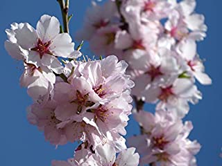 Home Comforts Peel-n-Stick Poster of Flowers Flowery Branch Florir Almond Tree in Blossom Vivid Imagery Poster 24 x 16 Adhesive Sticker Poster Print