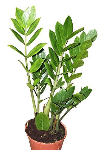 """Zimmerpflanze - für Wohnraum oder Büro - Zamioculcas Zamiifolia, 30 cm hoch - auch als """"Glücksfeder"""" bezeichnet -"""