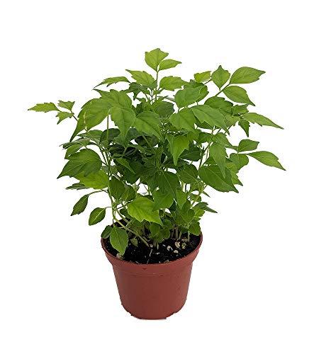 "China Doll Plant - Radermachera sinica - Easy House Plant - 2.5"" Pot"