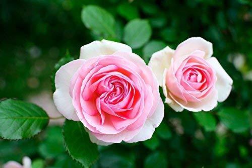 100 pezzi rampicanti colorati semi di fiori di rosa per giardino casa balcone recinzioni cortile...