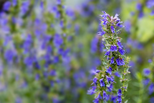 Ysop, blau blühend Hyssopus officinalis 300 Samen