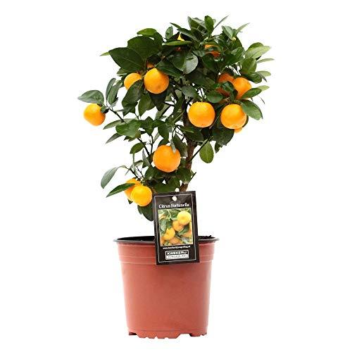 Citrus Mitis « Calamondin » | Oranger | Plante d'extérieur | Arbre fruitier | Hauteur 40-45cm | Pot Ø 15cm
