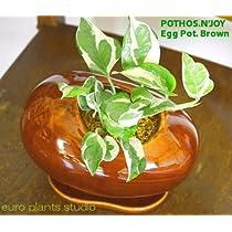 送料無料 ポトスエンジョイ 観葉植物 鉢植え 陶器 ポトス インテリア 北欧 おしゃれ ギフト お祝い ブラウンエッグポット
