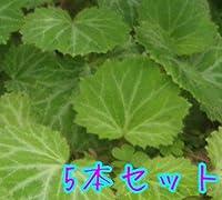 ユキノシタ / 9cmポット 【5本セット】 ゆきのした 雪の下 販売 苗 植木 苗木 庭木 グランドカバー 下草 寄せ植え 低木