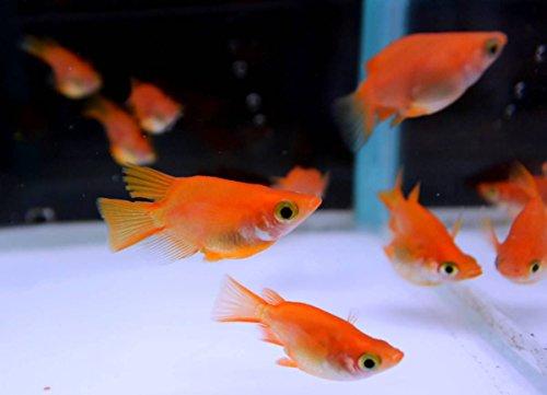 (生体) メダカ稚魚 紅帝ダルマの産んだ稚魚10匹 本州(山口県省)四国限定