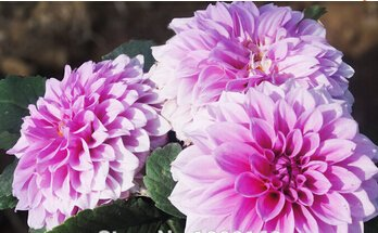 20Seeds blanco raro Dalia roja semillas de flor china Encanto Semillas Bonsai plantas de jardín precio al por mayor