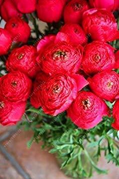 Virtue Veri bulbi di ranuncolo, piante in vaso Lovely bulbi di fiori, (semi di ranuncolo), piante perenni Bulbous Root giardino pianta perenne - 1 pz 7
