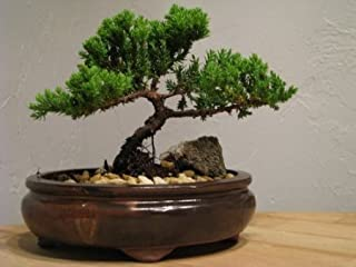 9GreenBox Bonsai Juniper Tree - Japanese Art Live House Plants for Indoor and Outdoor Garden - Dwarf Trees in Container Po...