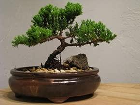 9Greenbox Best Gift Bonsai Juniper Tree, 4 Pound