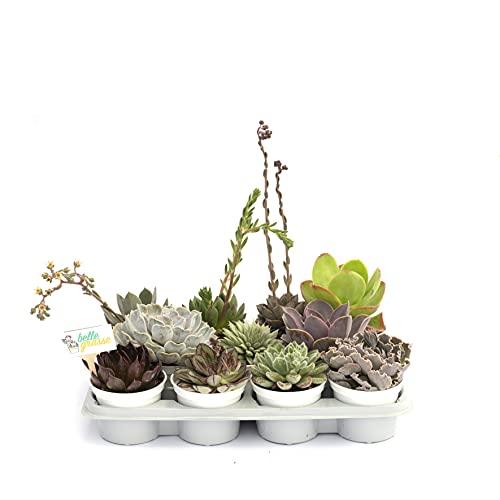 Belle Grasse Cactus e piante vere Echeveria Vassoio di 11 vasi diametro 10 cm