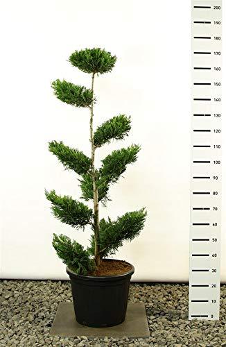 Cupressocyparis leylandii Pon Pon - Lelyland Zypresse - Formschnitt - Formgehölz - Multiplateau - Größenauswahl (150-170 cm - 20 Ltr Topf)