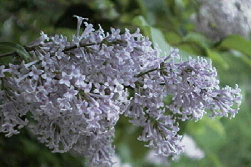 Re-Blooming Lilac Persian Flowering Shrub Hardy Small Tree Live Plant