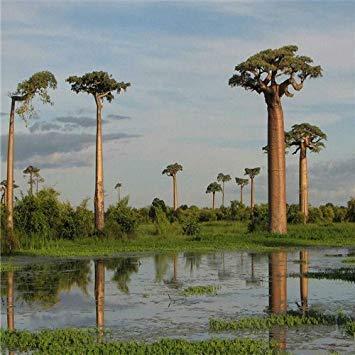 Semillas Shopvise Jardín genuino 10 piezas de alta calidad Semillas de Baobab Raras Tropical Seeds semillas de árboles de jardín Bonsai S y Hogar