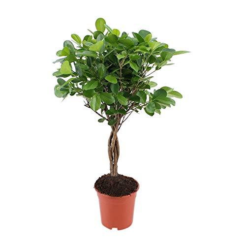 Zimmerpflanze von Botanicly – Gummibaum – Höhe: 70 cm – Ficus elastica
