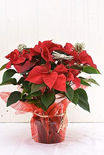 PLANTA DE NAVIDAD NATURAL [DECORADA] 50cm - Poinsettia roja PARA REGALAR - PASCUERO - Flor de Pascua - CON DEDICATORIA