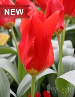 Red Emperor Fosteriana Tulip
