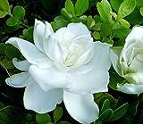 Cape Jasmine Flower Seeds 150+ flores blancas orgánicas fáciles de cultivar (Gardenia jasminoides Ellis) para plantar jardín interior al aire libre