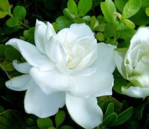 Cape Jasmine Flower Seeds 150+ Bio Leicht zu züchtende weiße Blumen (Gardenia jasminoides Ellis) zum Pflanzen von Garten im Innen- und Außenbereich