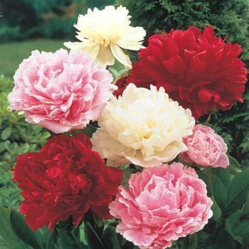 Nouvelle arrivée! Une variété de couleurs rares graines Pivoine chinoise plantation de fleurs et jardin Paeonia Suffruticosa Seeds 20 PCS G58 Blanc Rouge