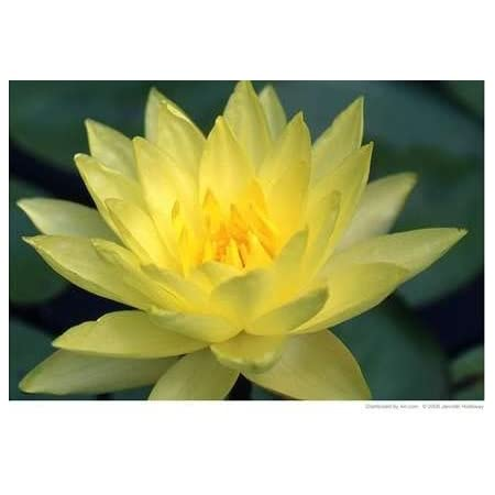 "Magic Lotus Flower Lily Pink Art 15x10cm #2066 Photograph 6x4/"""