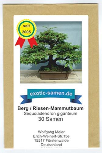 Mammutbaum Seedeo® Berg Pflanze 2 Jahre Geschenkedition 3 Sequoia. gigantea
