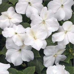 Outsidepride Impatiens - Baby White