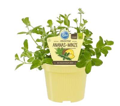 Bio Minze Ananas-Minze (Mentha suaveolens variegata), Kräuter Pflanzen aus nachhaltigem Anbau, (1 Pflanze)