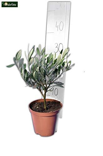 Olea europaea - echter Olivenbaum - verschiedene Größen (Gesamthöhe 30+cm Topf Ø 15cm)