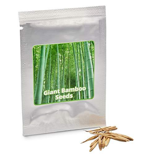 Magic of Nature Riesenbambus - ca.60 Bambus Samen - Optimaler Sichtschutz - Ultraschnelles Wachstum bis zu 10m - Winterhart bis -15 Grad - Perfekter Windschutz