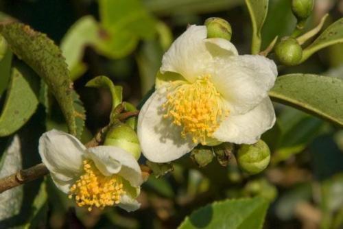 Planta de té Camellia sinensis 10 Semillas crecer su propio té! floración blanca