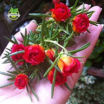 500 Mixed Color Moss-rose Purslane Double Flower...