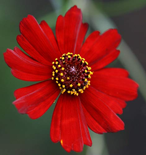 MABES WAREHOUSE Dwarf Red Plains Coreopsis 450 Seeds - Coreopsis Tinctoria, Organic Fresh Seeds Non-GMO, Indoor/Outdoor Seed for Planting Home Garden