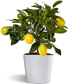 comprar comparacion Limonero Limequat Lakeland de interior - citrico enano de interior - fruta comestible - planta viva en maceta cerámica 12cm