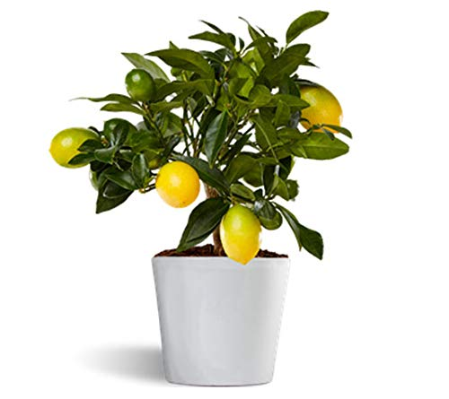 Limonero Limequat Lakeland de interior - citrico enano de interior - fruta comestible - planta viva en maceta cerámica 12cm