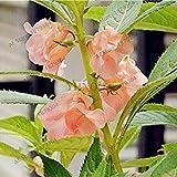 ASTONISH Sgomento SEMI: 7: 100pcs / bag bonsai semi Balsam, semi di fiori Balsamina, piante bonsai per la casa e il giardino fai da te, facile da coltivare 7