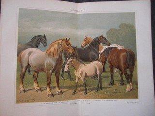 Pferde II (Alt-Neapolitaner Pferd, Belgisches Pferd, Oldenburger, Pinzgauer, Clydesdaler, Schwedisches Pony). Chromolitographie, ca. 1890. Doppelblatt, gefaltet - 30 x 24 cm; Bildgrösse 24,5 x 19 cm.