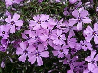 Best purple beauty creeping phlox Reviews