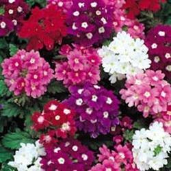 Foto di Fiore - Kings Semi - Confezione Multicolore - Verbena - Mammuth Hybrids Mix